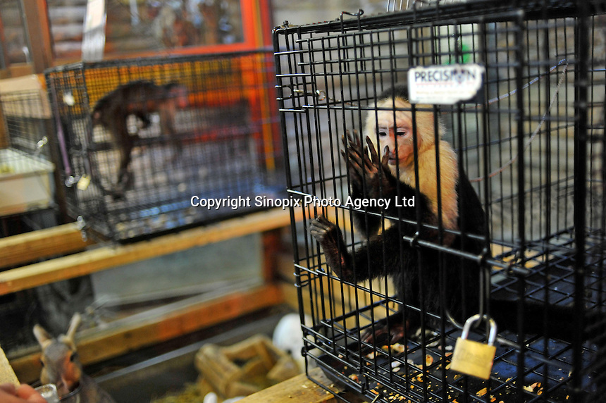 Caged Gibbons for sale at the world's most exotic pet shop called 'Noah Inner City Zoo'. One of these Gibons is used in TV commercials while others are for sale at around 2.2 million Yen or 25,000 US$. The Noah Inner City Zoo is a pet shop that sells exotic animals. The 'zoo' claims to have more than 300 species for sale, many of which are rare and some are endangered.