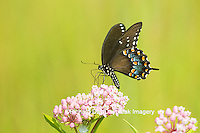 03029-01506 Spicebush Swallowtail Butterfly (Papilio troilus) on Swamp Milkweed (Asclepias incarnata), Marion Co., IL