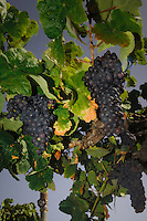Ripe black bunches of grapes ready to pick. San Miguel de Abona, Tenerife,Canary Islands.