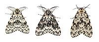 72.010 (2033)<br /> Black Arches - Lymantria monacha