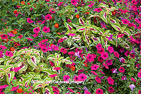 63821-21917 Pink Tidal Wave Petunias, Sun Coleus, and Red Spread Lantana (Lantana camara) Marion Co., IL