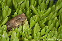 0811-0912  Spring Peeper Frog on Green Sedum, Pseudacris crucifer (formerly: Hyla crucifer)  © David Kuhn/Dwight Kuhn Photography