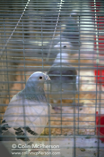 Individual cages with birds on display for judging at the annual Royal Pigeon Racing Association Show of the Year at the Winter Gardens, Blackpool. The two-day show takes place each year in Blackpool and attracts 4000 entries from pigeon fanciers from all over the world. The two-day event attracted 20,000 competitors and spectators.