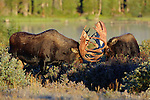 Bull Moose Sparring