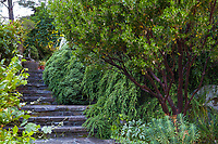 Arctostaphylos 'Monica' , Manzanita shrub by steps in path at Elisabeth Miller Botanical Garden with Tsuga canadensis 'Pendula' and Veronica (Hebe) topiaria behind. Helleborus x sternii and Euphorbia cv. in front of manzanita