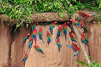 scarlet macaw, Ara macao, and red-and-green macaw, Ara chloropterus, on clay lick, Tambopata National Reserve, Madre de Dios Region, Tambopata Province, Peru, Amazonia