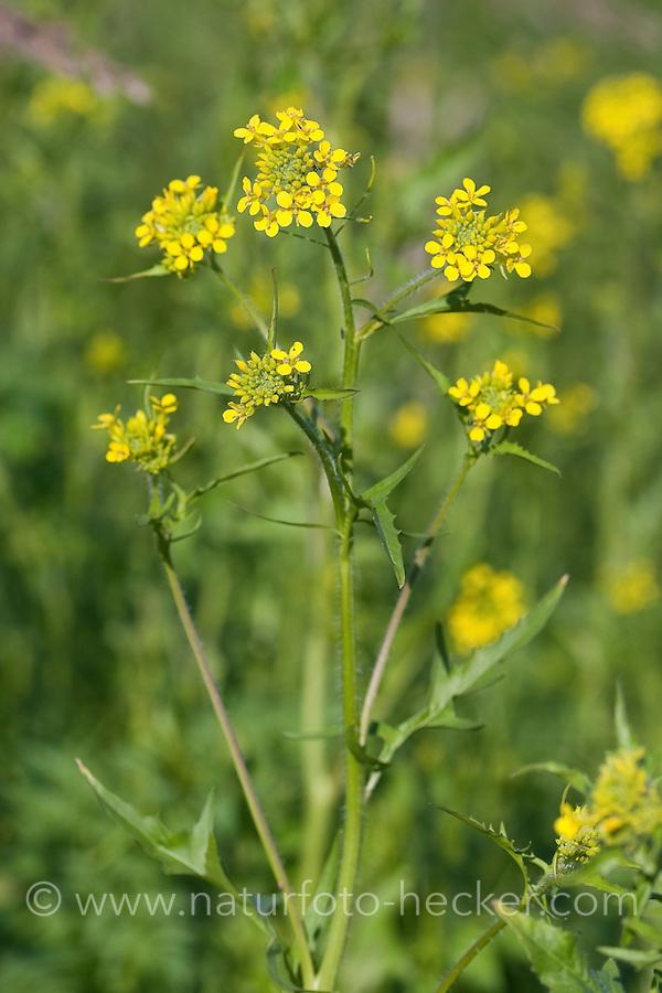 Loesels Rauke, Sisymbrium loeselii, Small tumbleweed mustard