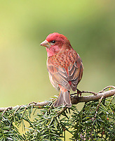 Purple finch adult male perched on a western hemlock branch surveying his territory.<br /> Woodinville, Washington<br /> 5/3/2010