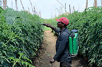 ZAMBIA, Mazabuka, tomato farming, spraying of pesticides and fungicides