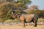 Black rhino (Diceros bicornis) bull showing flemen, Etosha National Park, Namibia, May 2013