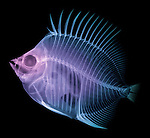 X-ray image of a butterflyfish (blue purple on black) by Jim Wehtje, specialist in x-ray art and design images.