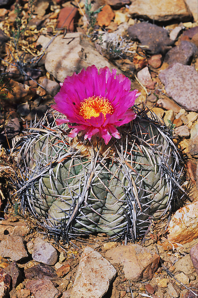 Devilshead cactus, Echinocactus horizonthalonius,blooming, Big Bend National Park,Texas, USA