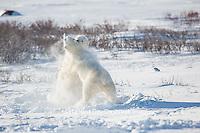 01874-13402 Polar Bears (Ursus maritimus) sparring, Churchill Wildlife Management Area, Churchill, MB