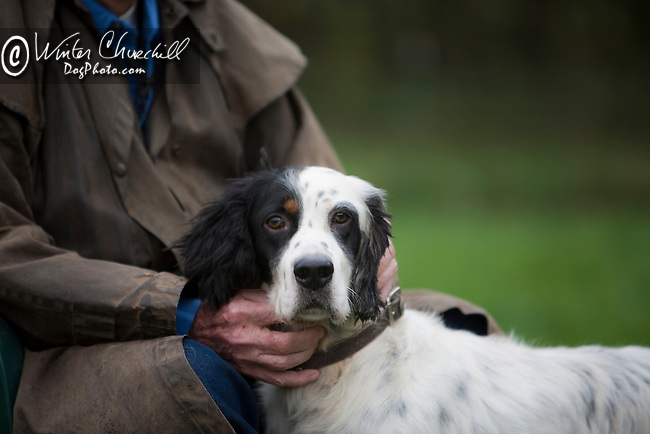 Also known as the Llewellin setter, the English setter is one of the most popular hunting dogs Shopping cart has 3 Tabs:<br />