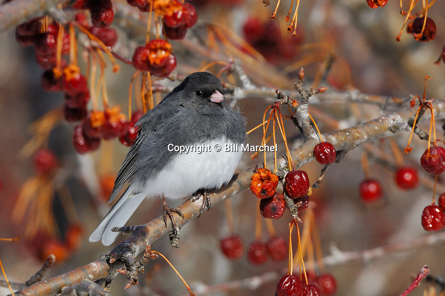 00697-010.07 Dark-Eyed Junco is perched in crab apple tree.  Bird, birding, slate, snowbird.  H3R1