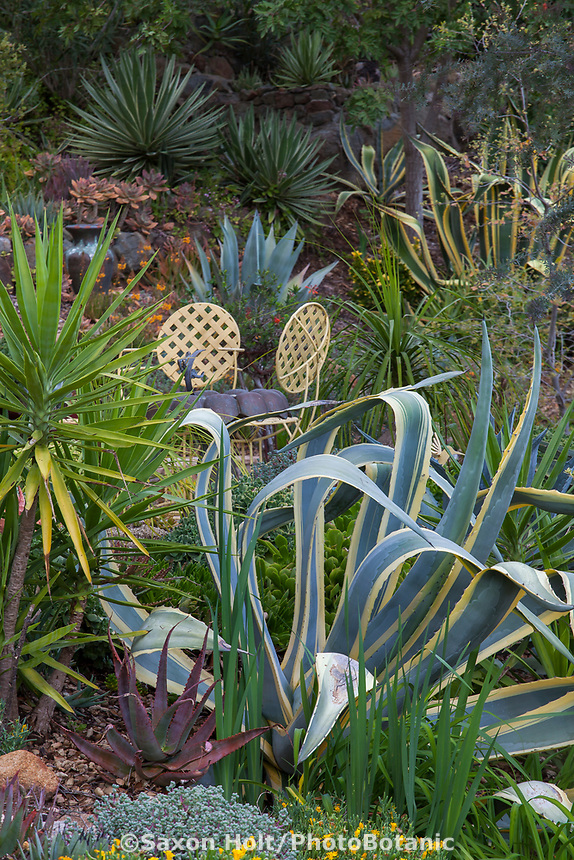 Agave americana 'Marginata' with Aloe rubroviolacea, Agave angustifolia 'Marginata' in upper left. Debra Lee Baldwin Southern California succulent garden
