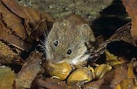 Rötelmaus, Rötel-Maus, Waldwühlmaus, Wald-Wühlmaus, Wühlmaus, Maus, Clethrionomys glareolus, Myodes glareolus, bank vole
