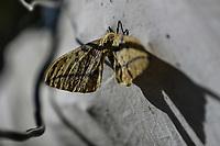 Palomillas, Insectos