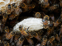 Honeybees on new build combs