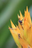 Trigona fulviventris (robbing flower).///Trigona fulviventris (robbing flower).