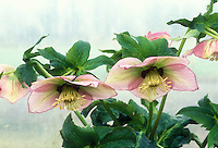 Helleborus pink GR20691 hellebore flowers and foliage leaves on pale background