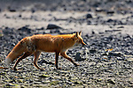 Wildlife - Fox
