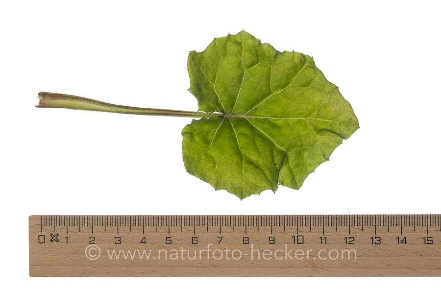 Huflattich, Huflattich-Blatt, Tussilago farfara, Coltsfoot, Pas d´âne, Tussilage. Blatt, Blätter, leaf, leaves
