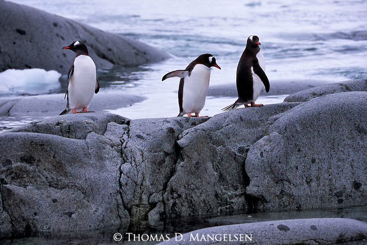 Gentoo penguins on a rocky shore in South Georgia.