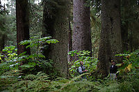 Forest and landscape near Sitka with forests of uncut old growth spruce, hemlock and cedar trees. The trees are 600-800 years old and have a diameter of 6 feet. Kenyon Fields, Executive Director of  Sitka Conservation Society, takes his boat to a nearby forest to hike though old growth that hasn't been cut near Sitka.  The grassroots organization he heads is involved in lawsuits against the US Forest Service to discourage timber sales in old growth forests.