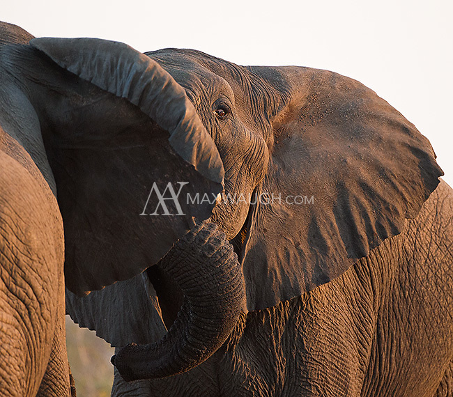 Bull elephants squaring off in Kruger.
