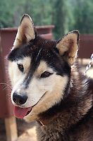 USA, Alaska, Schlittenhund in Chena Hot Springs bei Fairbanks