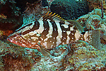 Epinephelus striatus, Nassau grouper, Grand Cayman