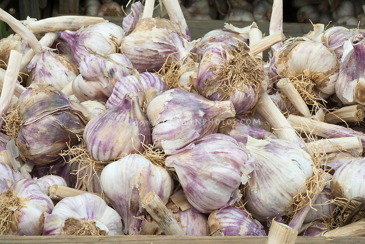 Chesnok Red hardneck Garlic vegetable showing harvested heads with dried roots and stems attached, in pile bunch