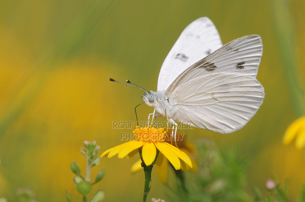 Checkered White (Pontia protodice), adult feeding on flower, Laredo, Webb County, Texas, USA
