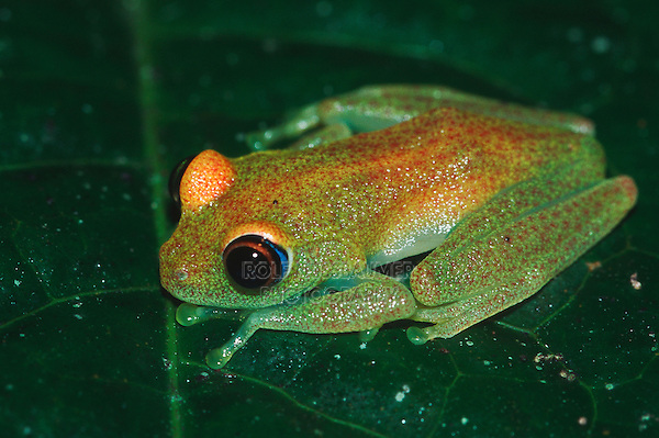 Green tree frog (Boophis luteus), adult on leaf, Madagascar, Africa