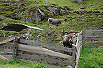Cows in rocky meadow surrounded by old wooden fence, Imst district,The Tirol, Austria.The Alps