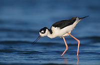 Black-necked Stilt, Himantopus mexicanus,adult feeding, Rockport, Texas, USA, December 2003