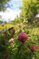 A bee gathering nectar from a red clover.///Butinage d'une abeille sur une fleur de trèfle rouge.