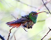 Buff-bellied hummingbird enjoying a mist bath in March