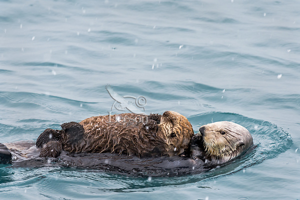 Sea Otter (Enhydra lutris) mom with young pup on Prince William Sound, Alaska.  Spring.  Light snow.