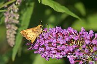 03738-00314 Zabulon Skipper (Poanes zabulon) male on Butterfly Bush (Buddleja davidii) Marion Co. IL