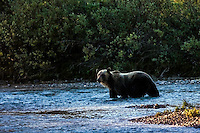 Grizzly Bear #126 crossing the Bow River near the community of Lake Louise in Banff National Park