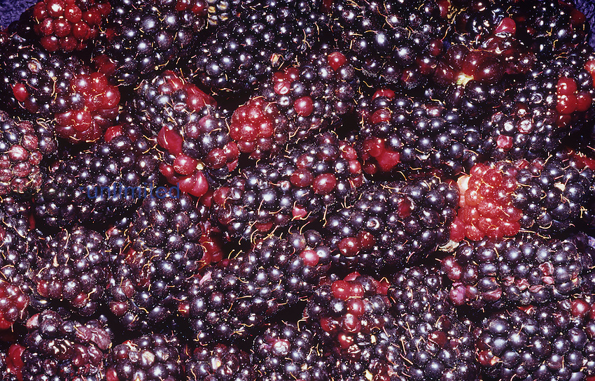 Olallieberries are a cross between Loganberries and Youngberries, both of which are crosses between Blackberries and another Berry. These are grown in California, Oregon, and Washington, USA.