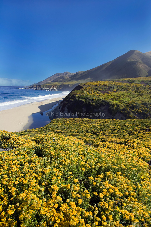Spring flowers bloom along the Big Sur Coast