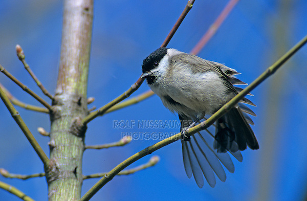 Marsh Tit, Parus palustris, adult stretching wing, Rapperswil, Switzerland, April 1995