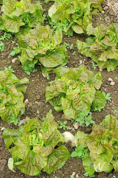 Organic vegetable field. Bibb Lettuces.