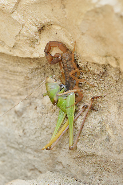Striped Bark Scorpion (Centruroides vittatus), adult with grasshopper prey, Hill Country, Central Texas, USA