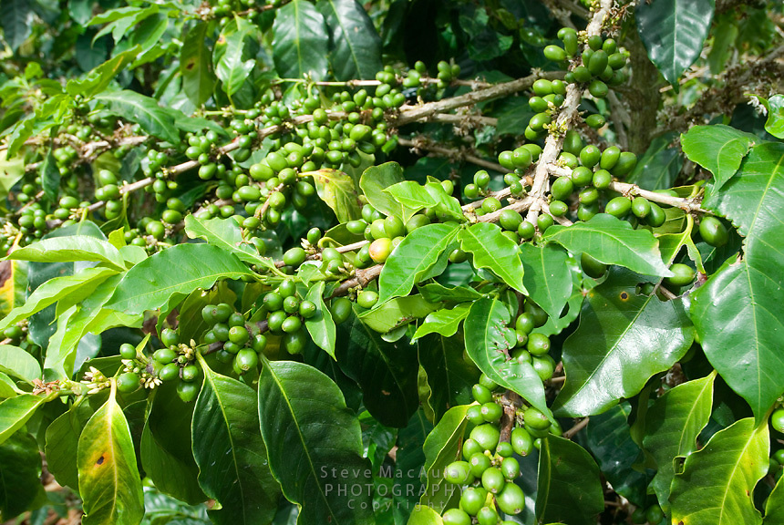 Green coffee beans on the plant, Cafe Ruiz, Coffee Plantation and Finca, Boquete, Panama