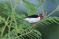 511688001 a wild red-capped cardinal paroaria gularis perches in a fern plant in canaima national park in venezuela