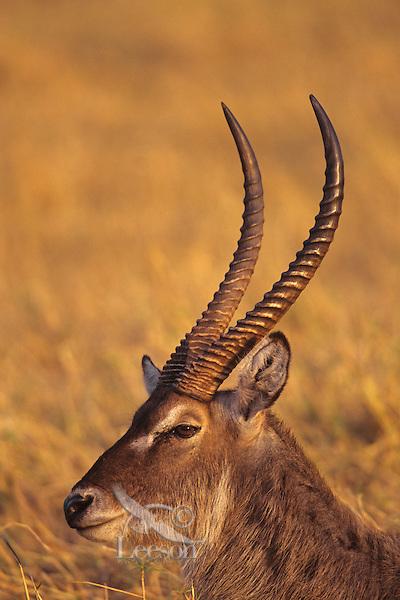 Waterbuck (Kobus ellipsiprymnus) resting at Matusadona National Park, Zimbabwe.
